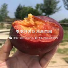 永莲蜜桃10号桃树苗什么价格、永莲蜜桃10号桃树苗多少钱一棵图片