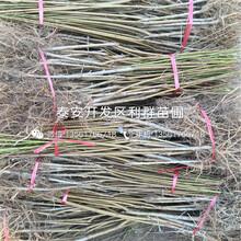 中華壽桃樹苗品種介紹、中華壽桃樹苗多少錢一棵圖片