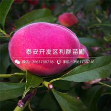 中油20號桃樹苗批發價格圖片