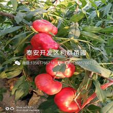 永蓮蜜桃3號桃樹苗圖片