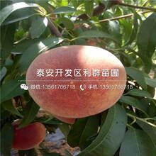 中桃10号桃树苗、中桃10号桃树苗出售图片