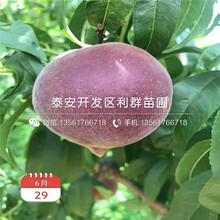 晚金霞油蟠桃树苗、晚金霞油蟠桃树苗新品种图片