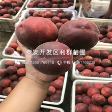 中国沙红桃树苗报价、中国沙红桃树苗多少钱一棵图片