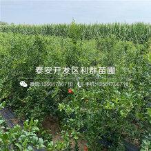 出售批发石榴树苗、批发石榴树苗多少钱一棵