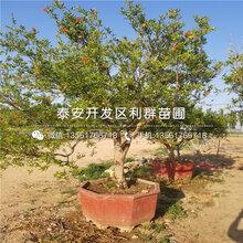 突尼斯2号软籽石榴树苗、突尼斯2号软籽石榴树苗出售价格