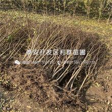 新品种石榴苗哪里便宜、新品种石榴苗价格是多少