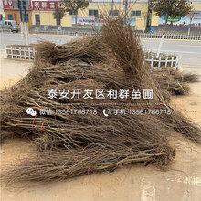 4公分石榴树苗品种介绍、4公分石榴树苗多少钱一棵