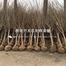 牡丹花石榴树苗品种介绍、牡丹花石榴树苗多少钱一棵