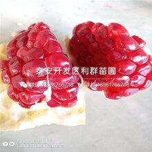 蒙阳红石榴苗出售、蒙阳红石榴苗价格及报价