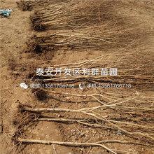 哪里有突尼斯软籽石榴树苗出售、突尼斯软籽石榴树苗多少钱一棵