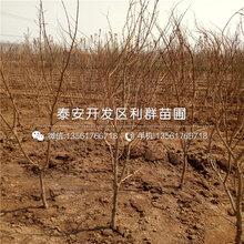 大果黑籽甜石榴树苗、大果黑籽甜石榴树苗价格多少