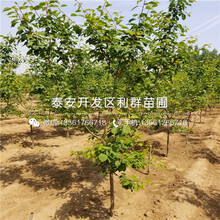 山東新品種杏樹苗、山東新品種杏樹苗多少錢一棵圖片