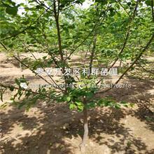 黃貴妃杏樹苗、黃貴妃杏樹苗什么價格圖片