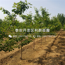 珍珠油杏樹苗品種介紹、珍珠油杏樹苗多少錢一棵圖片