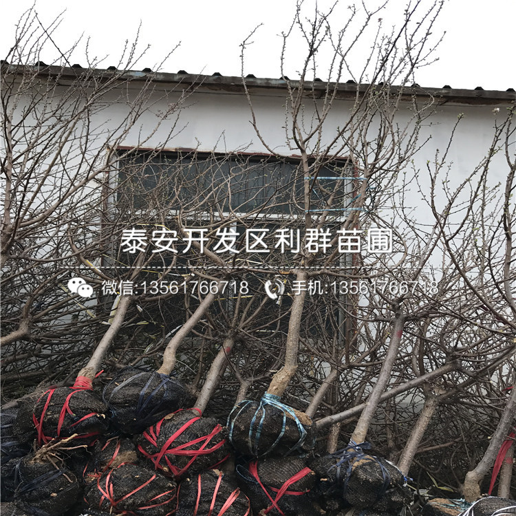 紅豐杏樹苗出售基地、紅豐杏樹苗多少錢一棵