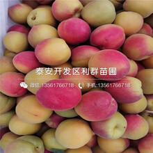 2020年杏樹苗出售基地、2020年杏樹苗價格及報價圖片