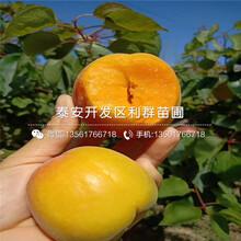 蜜香杏苗出售、2020年蜜香杏苗多少錢一棵圖片