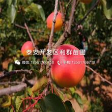 2公分杏樹苗、2公分杏樹苗批發圖片