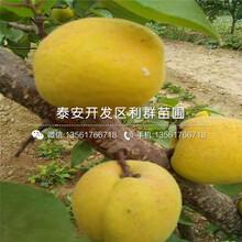 3公分杏樹苗、2020年3公分杏樹苗價格圖片