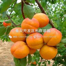 新品種凱特杏樹苗、凱特杏樹苗多少錢一棵圖片