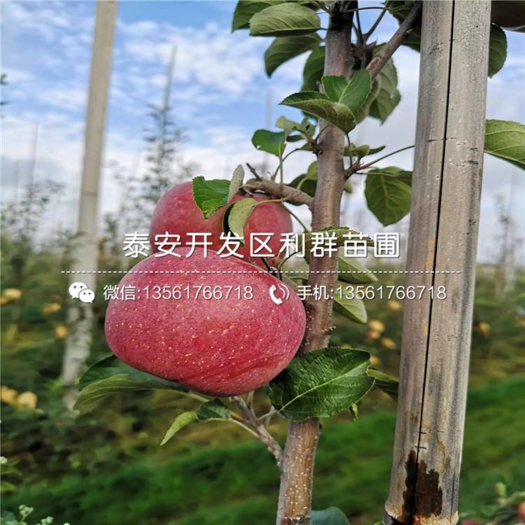 山东寒富苹果树苗、山东寒富苹果树苗价格
