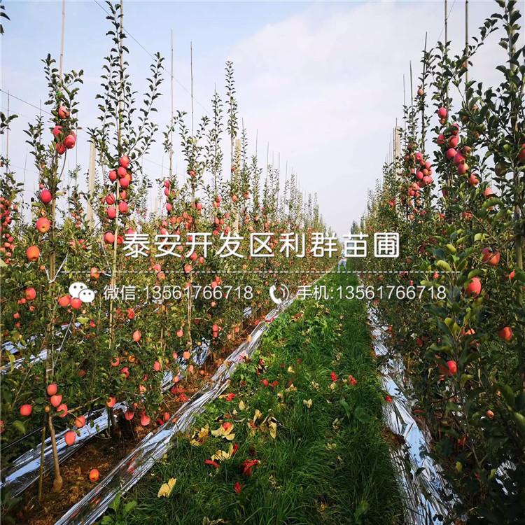 响富苹果苗多少钱、响富苹果苗多少钱一棵