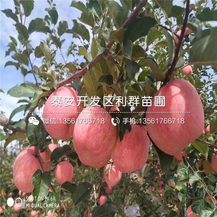 华玉苹果苗、华玉苹果苗价格