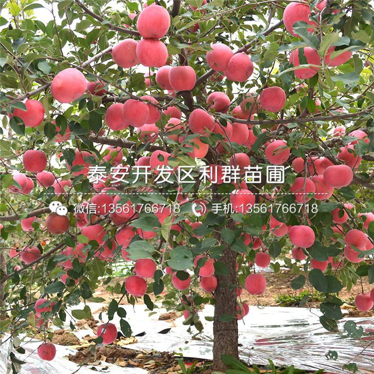山东烟富十号苹果苗、山东烟富十号苹果苗价格