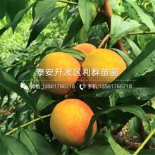 2公分冬桃8號桃樹苗、2公分冬桃8號桃樹苗價格圖片