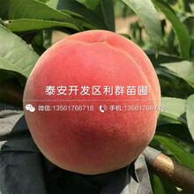 黃金油蟠桃樹苗價格、黃金油蟠桃樹苗出售圖片