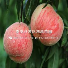 新品種早桃樹苗、新品種早桃樹苗價格圖片