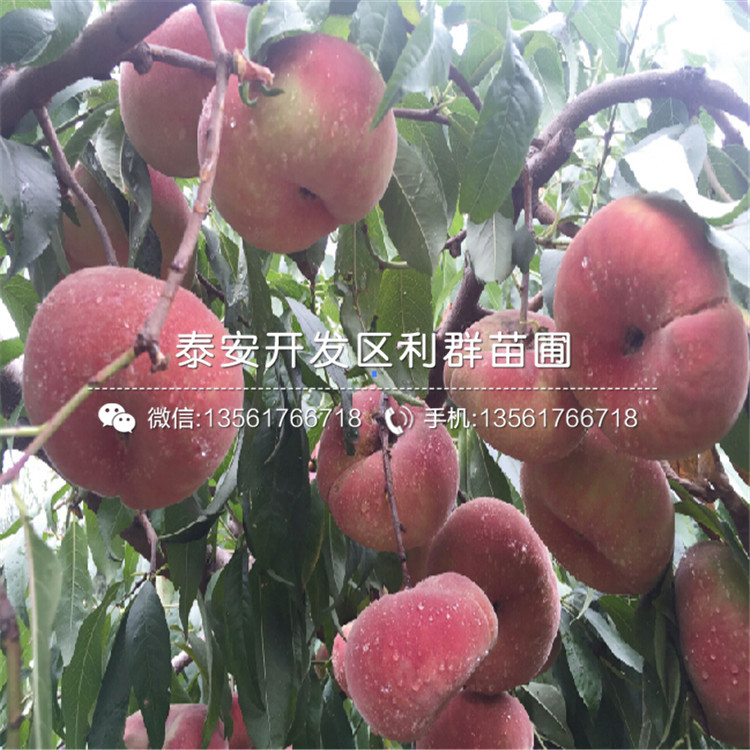 山东中桃红玉桃树苗、山东中桃红玉桃树苗报价