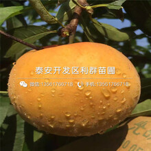 出售中华黑桃树苗、出售中华黑桃树苗价格图片