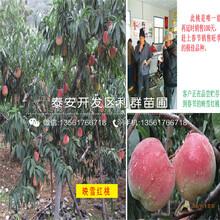 红肉血桃树苗基地、红肉血桃树苗什么价格图片