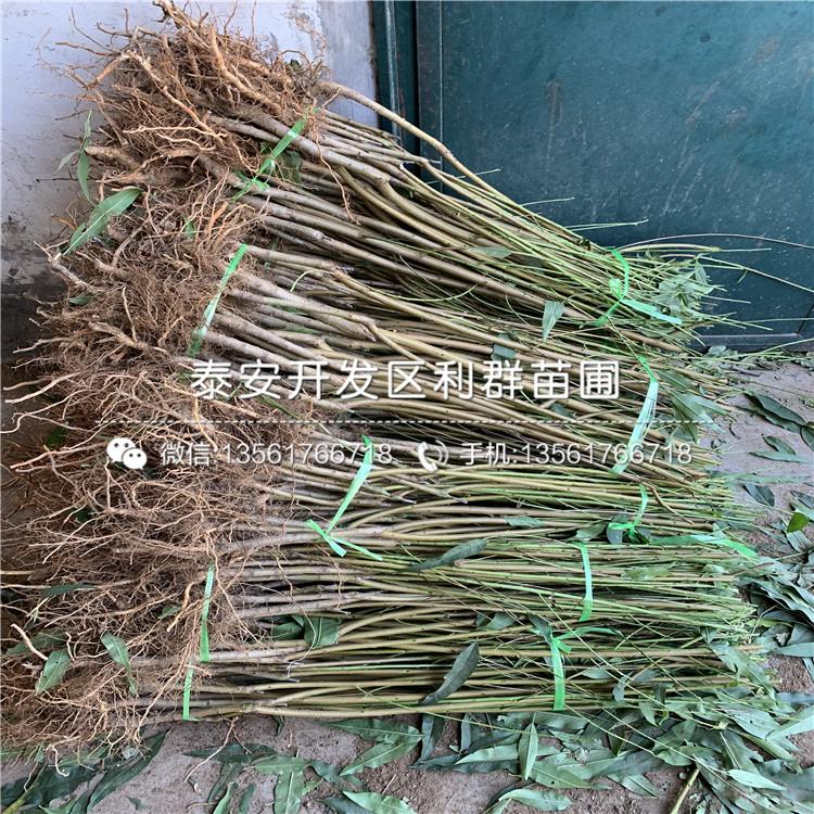 山东映霜红桃苗、山东映霜红桃苗新品种