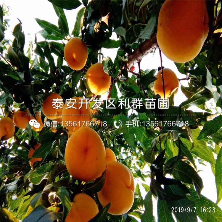 实生桃树苗哪里有卖、实生桃树苗多少钱一棵