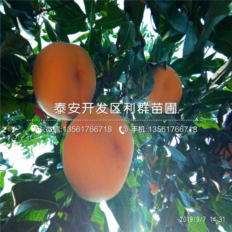 黄肉油蟠桃树苗批发价格、黄肉油蟠桃树苗基地及报价