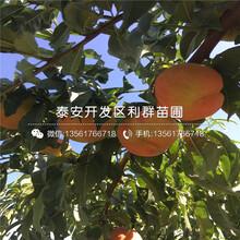 黃肉油桃苗圖片