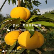 早熟桃树苗价格、早熟桃树苗报价图片