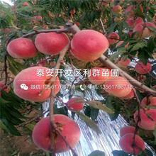白桃樹苗、白桃樹苗新品種圖片