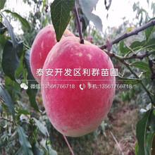 中油21號桃樹苗新品種、中油21號桃樹苗價格及基地圖片