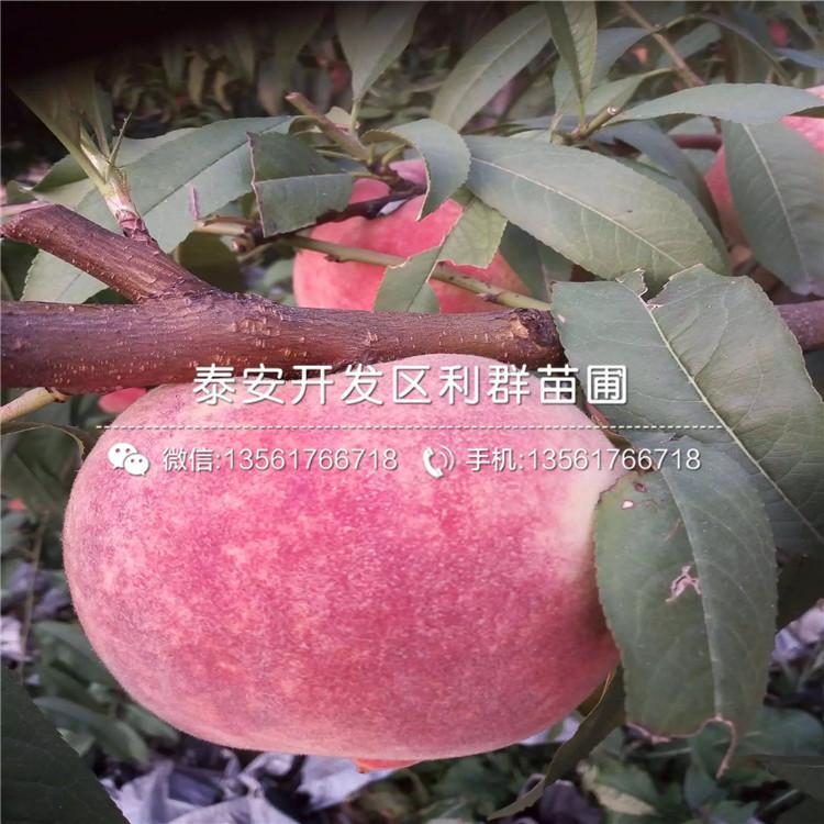 黃肉蟠桃樹苗批發、黃肉蟠桃樹苗價格及基地