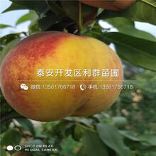 3公分油桃樹苗、3公分油桃樹苗價格圖片