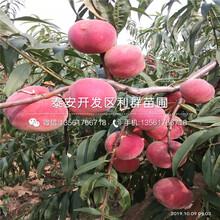罐83桃树苗、罐83桃树苗价位图片