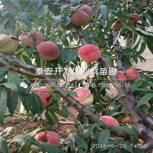 19桃樹苗批發價格、19桃樹苗基地及報價圖片