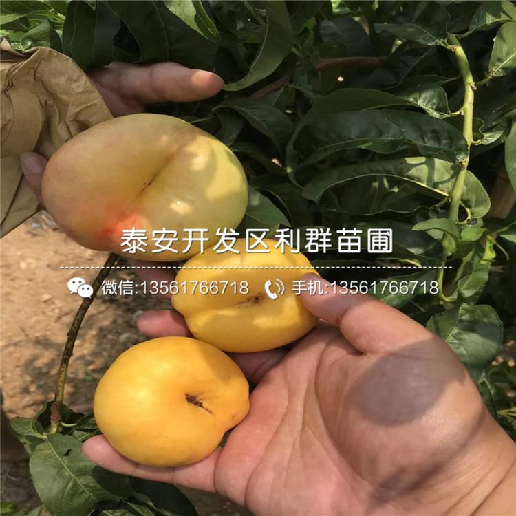 出售新黃金蜜1號黃桃苗、新黃金蜜1號黃桃苗價格及基地