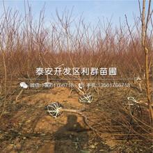 出售永蓮蜜桃桃樹苗、出售永蓮蜜桃桃樹苗基地圖片