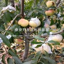 超早紅蜜桃樹苗報價、超早紅蜜桃樹苗價格及基地圖片
