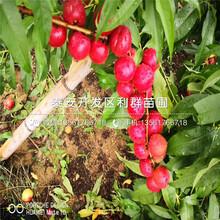 出售中油4號桃樹苗、中油4號桃樹苗價格及基地圖片