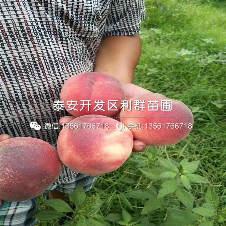 山東中桃紅玉桃樹苗、山東中桃紅玉桃樹苗報價